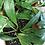 Thumbnail: Hoya Pubicalyx Splash