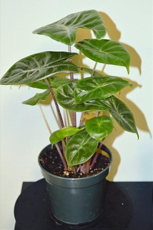 Dragon Alocasia Plant