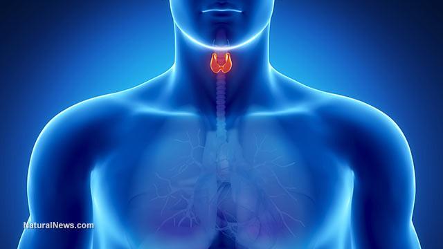 Man-Thyroid-Throat-Body-Model.jpg