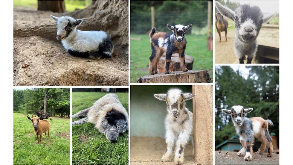 montage goats.JPG
