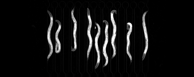 Daniel's article about C. elegans sleep states featured in The Scientist