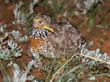Bringing Back the Plains Wanderer from the Brink