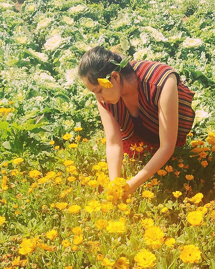 Harvesting calendula in our favorite pla