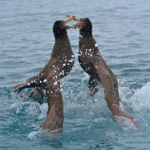 Battle of the Northern giant Petrel