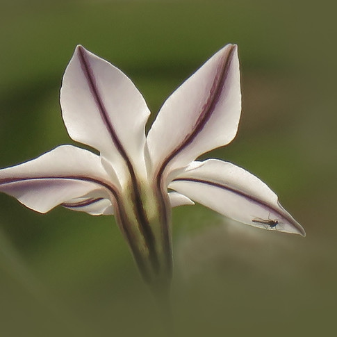 Ipheion and Visitor