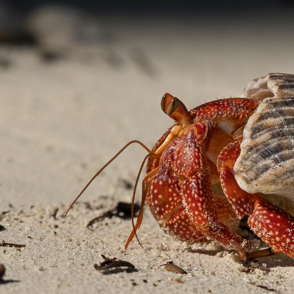 Strawberry Land Hermit Crab