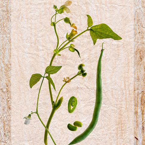 Phaselous vulgaris - the Common Bean