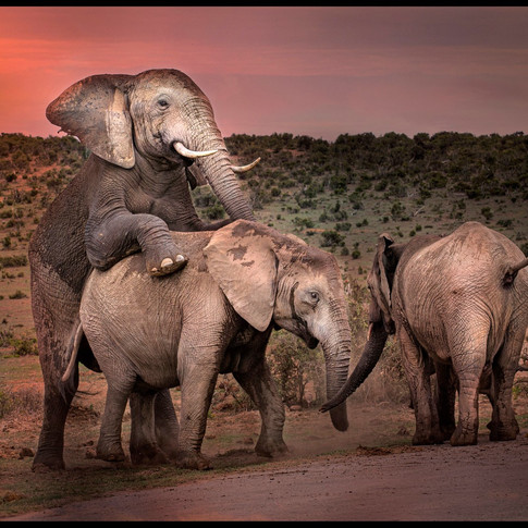 PROCREATING PACHYDERMS WITH OBSERVER