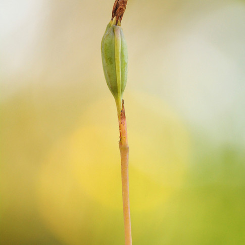 Developing Orchid Fruit