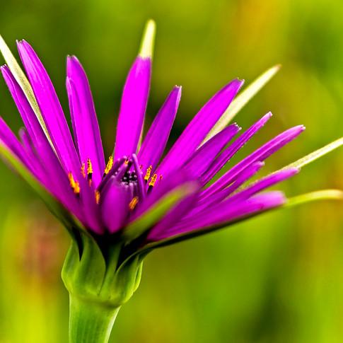 Salsify Flower