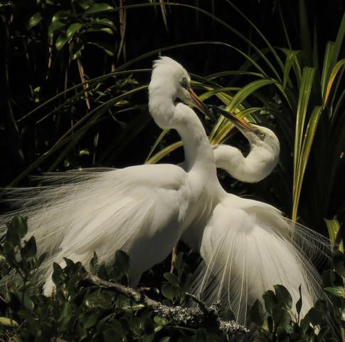 White Herons or Kotuku (Ardea modesta)