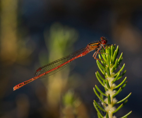 Red Damselfly, Xanthocnemis zealandia