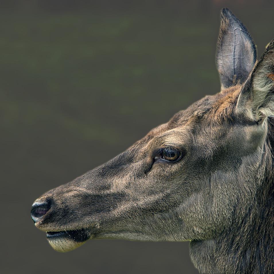 Dear Deer