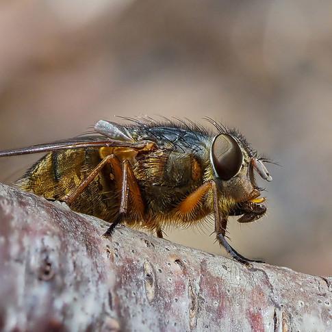 Brown Blowfly