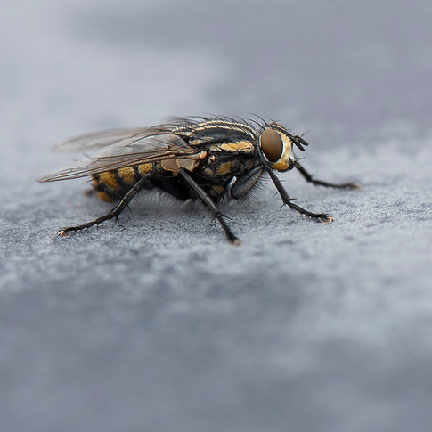 Resting Fly