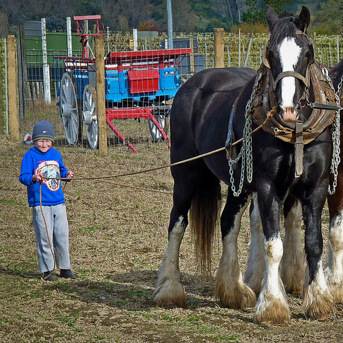 Working the Clydesdales