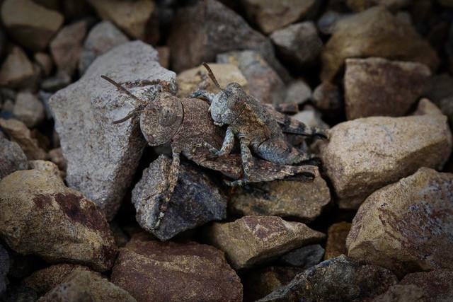 Crickets Mating