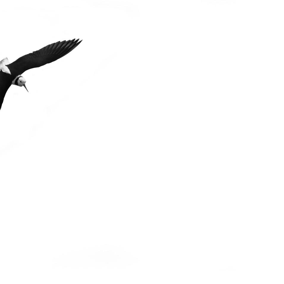 Pied Stilt (Himantopus leucocephalus)