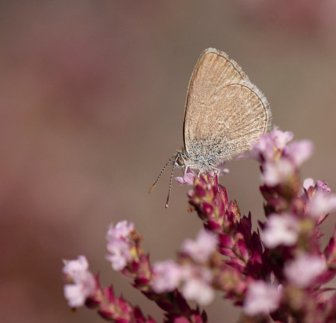 Common Blue Butterfly, Pepe Ao Uri, Zinzina otis labradus