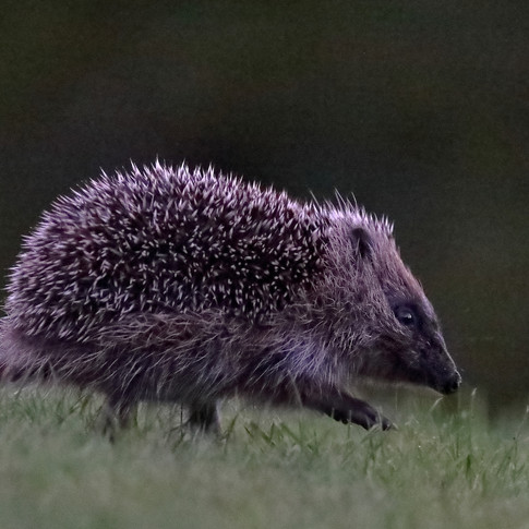 Hedgehog Night Patrol
