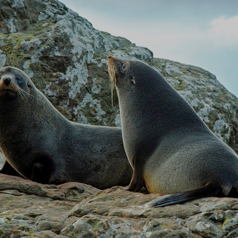 Kaikora Seals