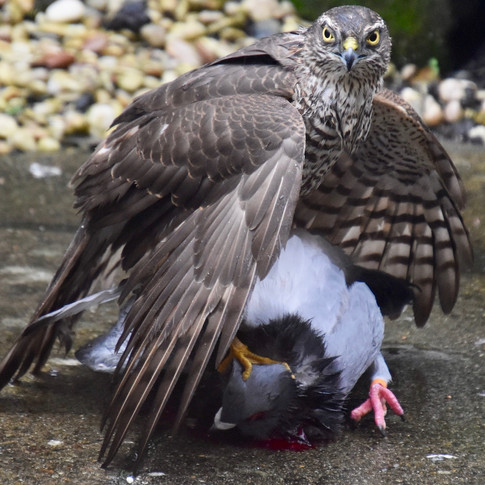 Hen Sparrowhawk and her kill