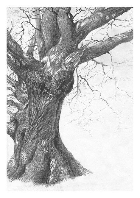 Irish oak tree, tree, drawing, print, giclée print, fine art