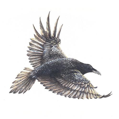 Pencil drawing of Raven bird, giclee print