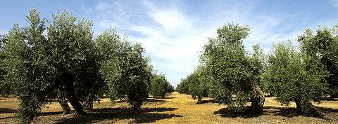 olivar1.jpg