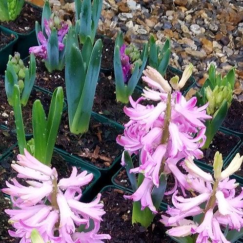 Bedding Hyacinth