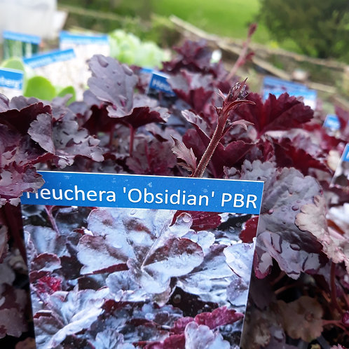 Heuchera 'Obsidian' PBR