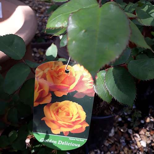 Rose Golden Delicious