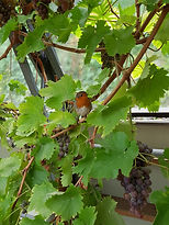 Our very friendly Robin