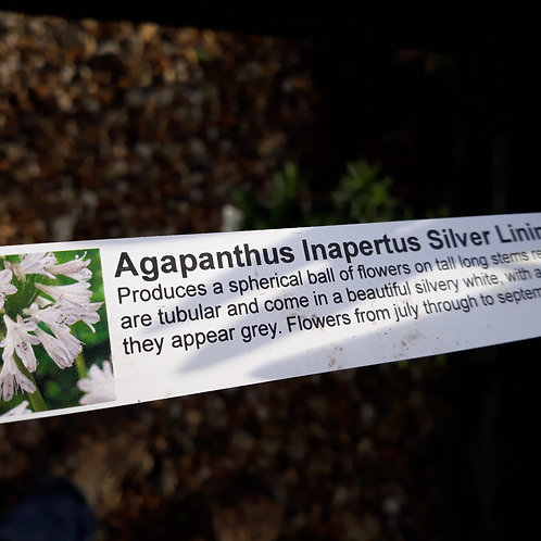 Agapanthus Silver Lining