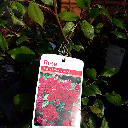 Rose Paul Scarlet