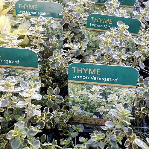 Thyme Verigated