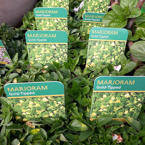 Marjoram Gold Tipped