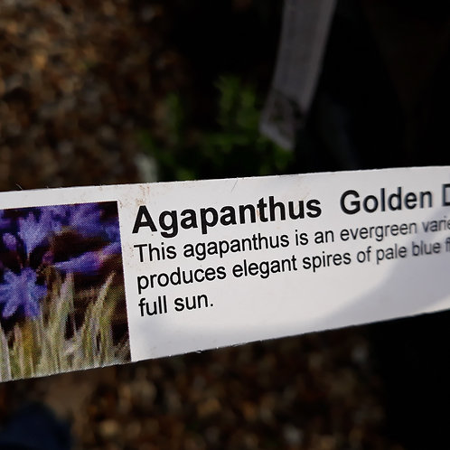 Agapanthus  Golden Drop