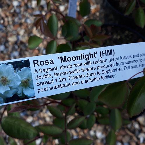Rose Moonlight