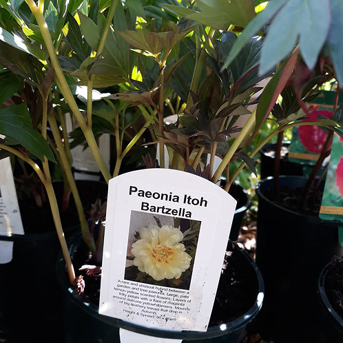 Paeonia Bartzella
