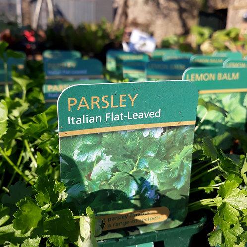 Parsley Giant Italian Flat Leaf