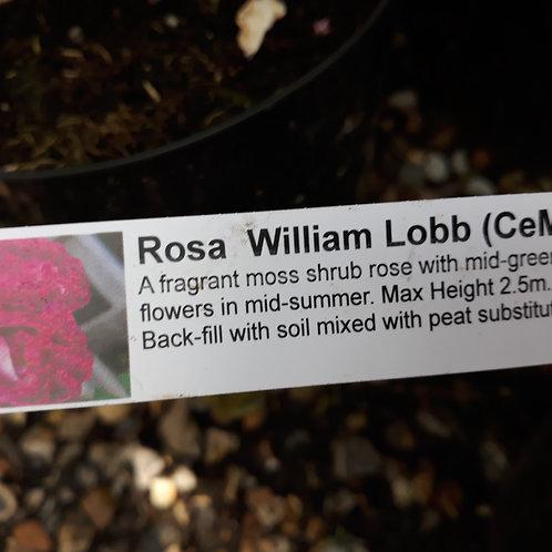 Rose William Lobb