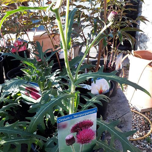 Cirsium r. 'Atropurpureum'