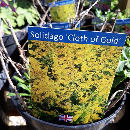 Solidago 'Cloth of Gold'