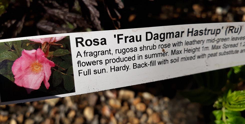 Rose Frau Dagmar Hastrop