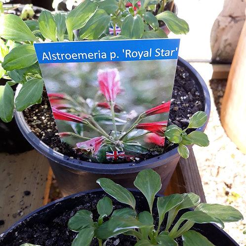 Alstroemeria p. 'Royal Star'