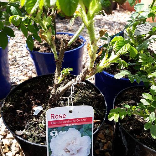Rose Blanc Double de Coubert