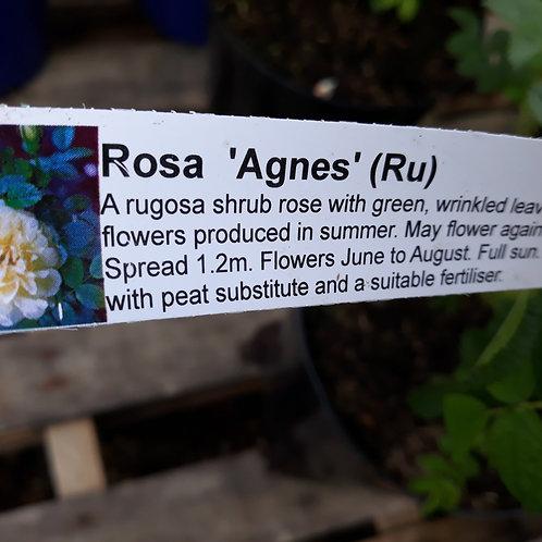 Rose Agnes