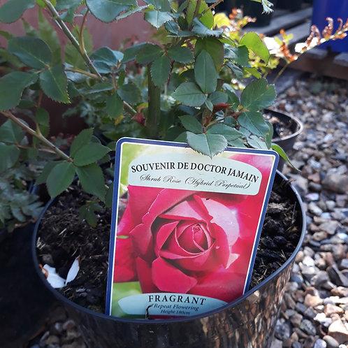 Rose Souvenir du Dr Jamain