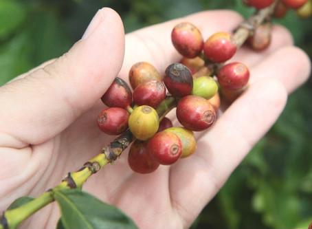 Conab confirma números do arábica e safra brasileira de café é a segunda maior da história
